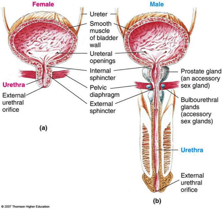 female to male urinary comparison