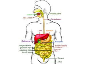 Gastrointestinal-tract-feature