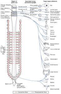 Parasympathetic_Nervous_System