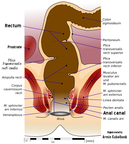 X-section of human anus and rectum